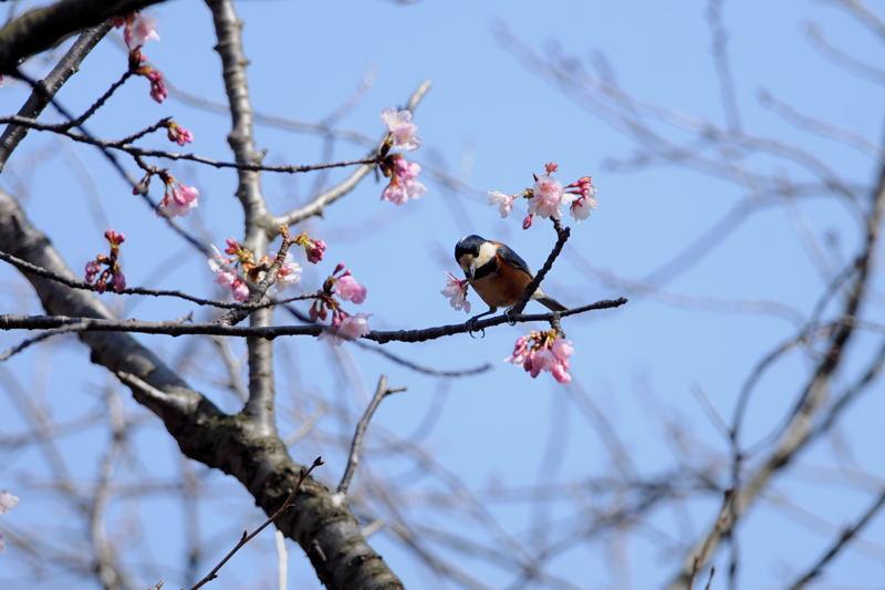 DSC_2161-210305武蔵野公園大寒桜ヤマガラ-B