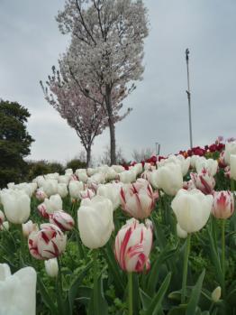 桜とチューリップ2P1070161