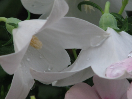2008.09.07-白い桔梗2