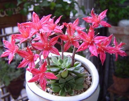 1週間ほど前にゲットした多肉植物 こんなにカワイイ花を咲かせることができるのか?