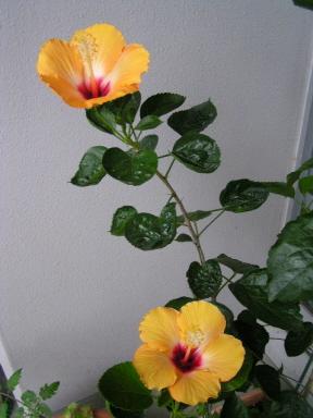 立冬にテラスで咲いたダブル!ハイビスカスです