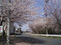 2009桜 003