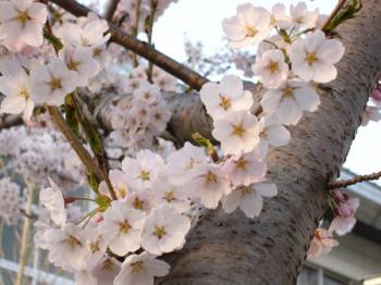 去年の桜 2