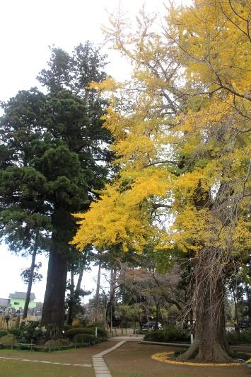 大杉と大銀杏