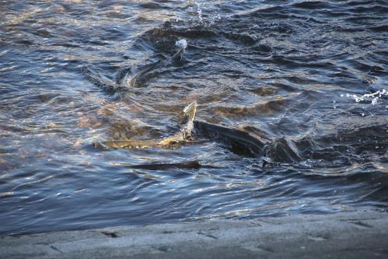 遡上する鮭