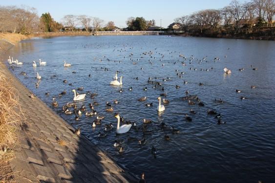 羽を休める白鳥達