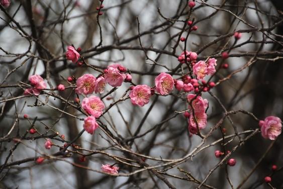 梅の花も咲き始め