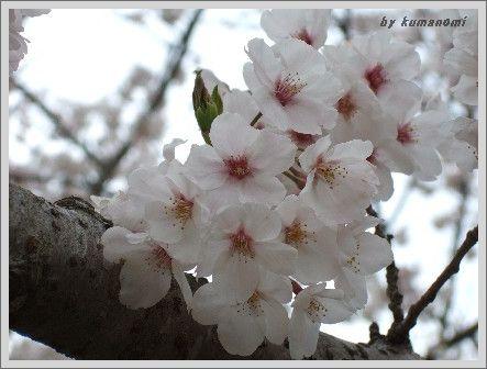 2008満開の桜
