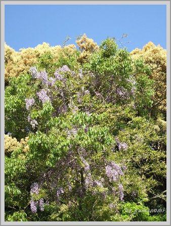 2008藤の花