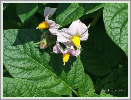 2008ジャガイモの花