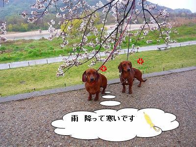 20.3.30さくら (7)
