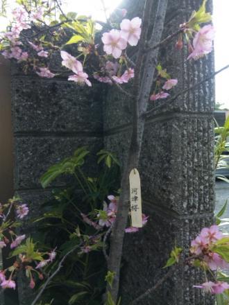 kawazuzakura.jpg