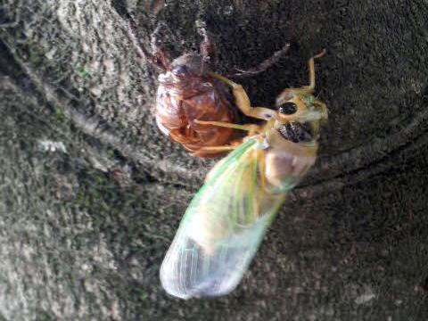 Cicada-080719