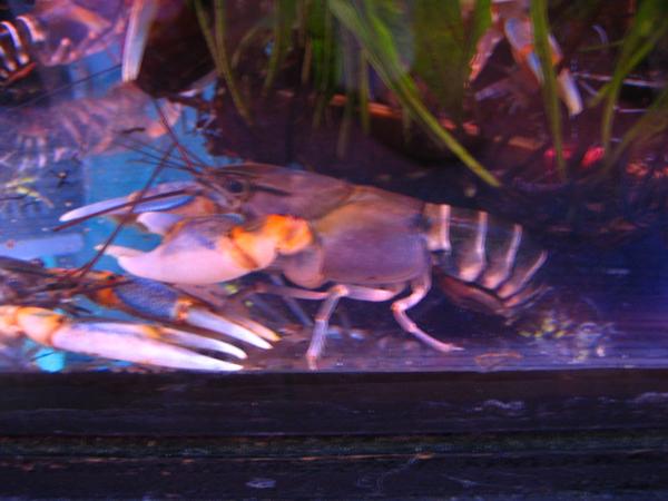 Zebra_Crayfish