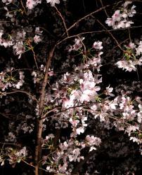 2012小頭町の桜