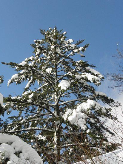 クリスマスツリー??