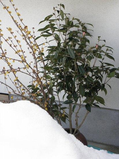 雪害に遭ったロウバイと椿