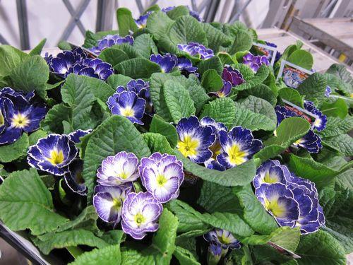 T's Garden Healing Flowers‐プリムラ・マジカルブルー