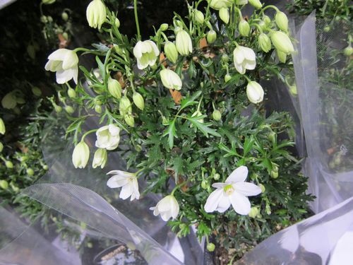 T's Garden Healing Flowers‐クレマチス・カルトマニージョー