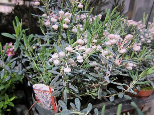 T's Garden Healing Flowers‐石楠花・ブルーアイス