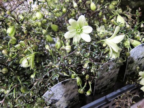T's Garden Healing Flowers‐クレマチス・ペトリエ