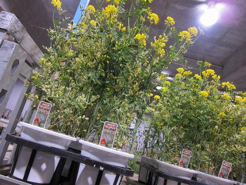 T's Garden Healing Flowers‐コロニラ・バレンティナ