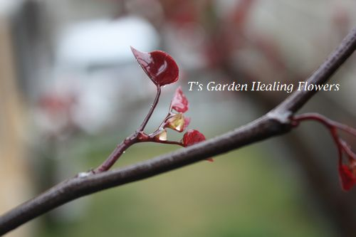 T's Garden Healing Flowers‐アメリカハナズオウ・フォレストパンジー