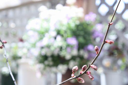 T's Garden Healing Flowers‐紅葉スモモのつぼみ
