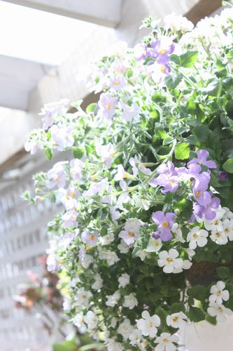 T's Garden Healing Flowers‐大輪バコパのハンギング