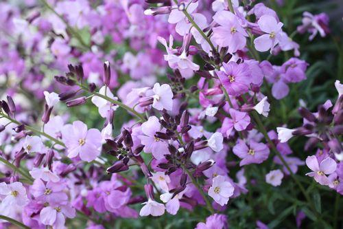 T's Garden Healing Flowers‐チェイランサス・プルプレア