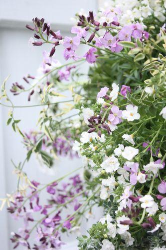 T's Garden Healing Flowers‐チェイランサスとチロリアンデージーのハンギング
