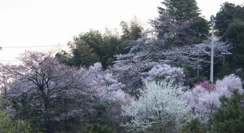 T's Garden Healing Flowers‐里山の桜