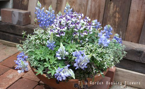 T's Garden Healing Flowers‐ルピナス・ブルーボネットの寄せ植え