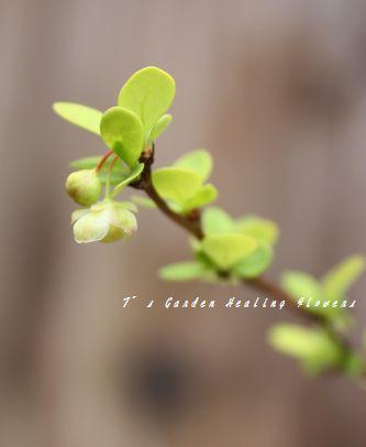 T's Garden Healing Flowers‐メギ・オーレアの花