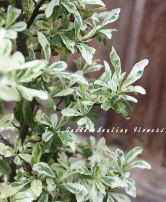 T's Garden Healing Flowers‐新緑のピラカンサ・ハーレクイン
