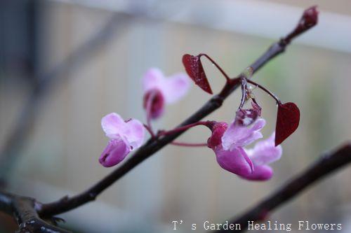 T's Garden Healing Flowers‐アメリカハナズオウ・フォレストパンジーの花