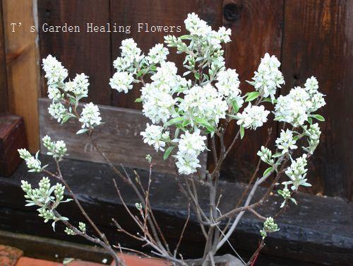 T's Garden Healing Flowers‐ジューンベリー・リージェント