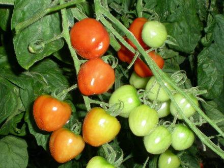 トマトベリーガーデン