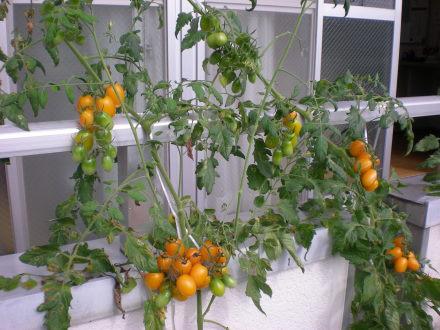 コンクリートトマト