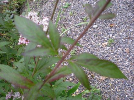 西洋フジバカマの葉