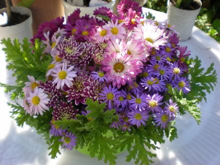 ローズゼラニュウムと菊