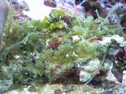 海藻付ライブロック090103_01