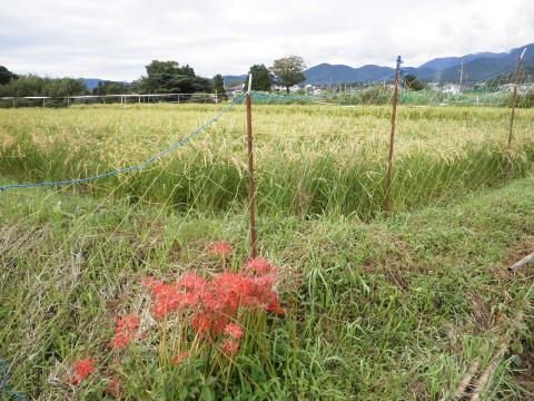 稲田と彼岸花12
