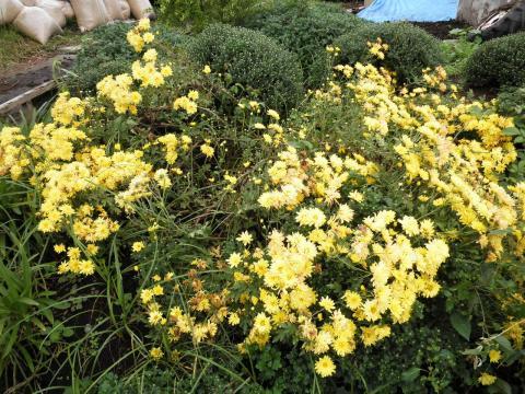 菊の花148