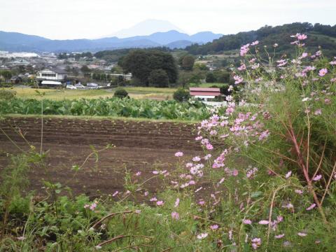 秋桜と富士262