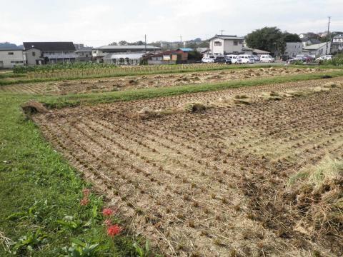 稲刈り済05
