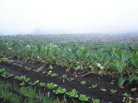 野菜畑06