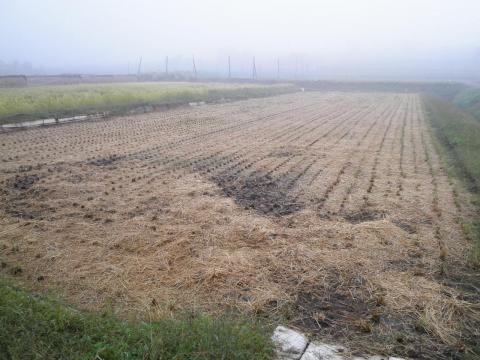 稲刈り済19