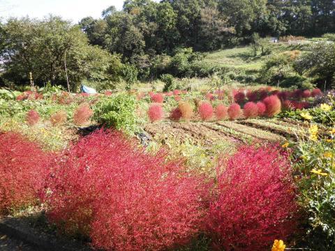 ほうき草の紅葉65