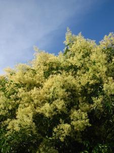 090731シマトネリコ花と空